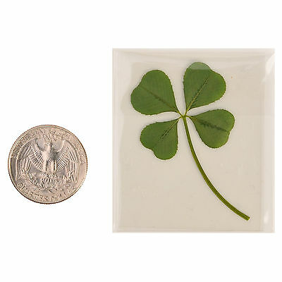 Real 4 Four-Leaf Clover Pressed Flower Stuff DIY Crafts Handmade Art Materials L