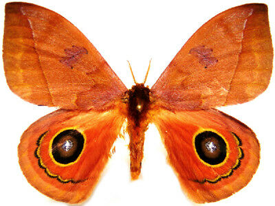 Taxidermy - real papered insects : Saturnidae : Automeris moloneyi