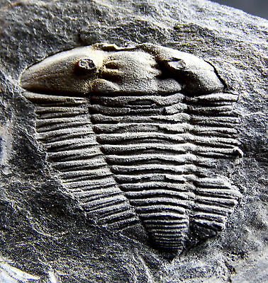 BIG AND NICE TRILOBITE .Prionocheilus mendax ORDOVICIAN. PORTUGAL.nº1C6