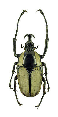 Taxidermy - real papered insects : Cetonidae : Herculasia melaleuca