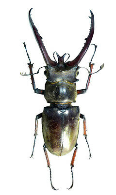 Taxidermy - real papered insects : Lucanidae : Lucanus planeti