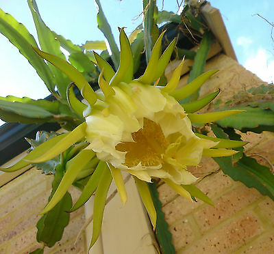 Dragon Fruit Plant Cutting, 20- 30cm, Pitaya, exotic tropical fruit