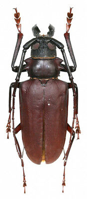 Taxidermy - real papered insects : Cerambycidae : Dorysthenes buqueti 65mm