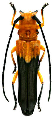 Taxidermy - real papered insects : Cerambycidae : Leuconitocris nigricornis