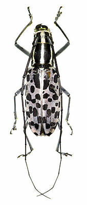 Taxidermy - real papered insects : Cerambycidae : Macrochenus isabellinusPAIR