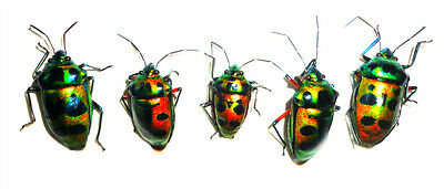 Taxidermy - real papered insects : Hemiptera : Scutellerinae ssp set 5 pcs