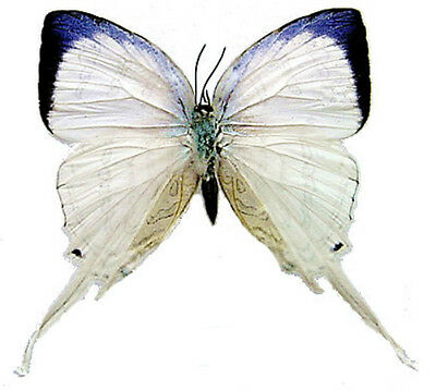 Taxidermy - real papered insects : Lycaenidae : Neomyrina nivea female