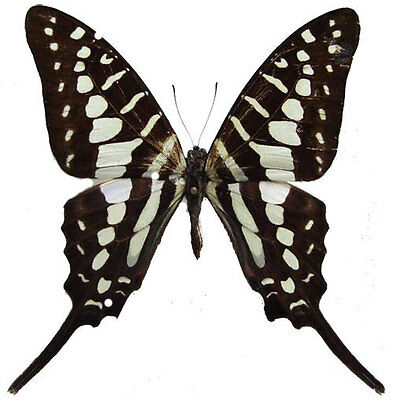 Taxidermy - real papered insects : Papilionidae : Graphium policenes