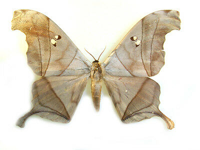 Taxidermy - real papered insects : Saturnidae : Dysdaemonia boreas PAIR