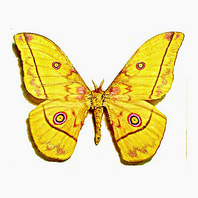 Taxidermy - real papered insects : Saturnidae : Nudaurelia dione