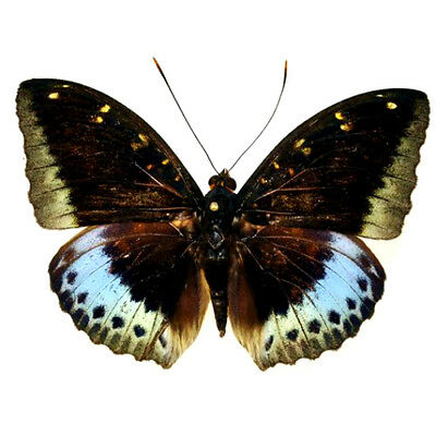 Taxidermy - real papered insects : Nymphalidae : Lexias pardalis PR