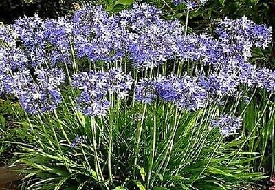 Pack x3 Blue Agapanthus Perennial Summer Flowering XXL Supersize Plug Plants