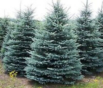 Buy 2 get 1 free Colorado blue spruce 15 seeds  ornamental and for x-mas tree