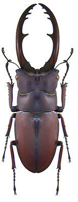 Taxidermy - real papered insects : Lucanidae : Prosopocoilus astacoides castan