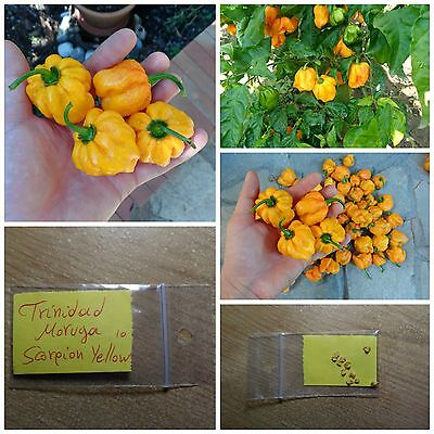 Hot Pepper ''Trinidad Moruga Scorpion Yellow'' ~10 Top Quality Seeds - EXTRA HOT