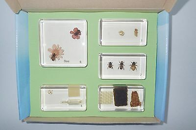 Honey Bee Life Cycle Box Set Apis mellifera in 5 Blocks Learning Insect Specimen
