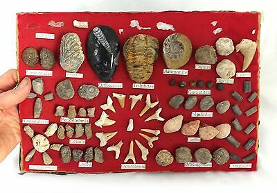 Vintage display board of fossil specimens, natural history fossil collection
