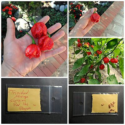 Hot Pepper ''Trinidad Moruga Scorpion Red'' ~10 Top Quality Seeds - EXTRA HOT