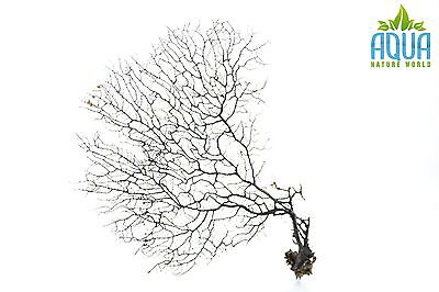 (A-4444) Real Atlantic Dried Coral  (Ornament Fish Tank,red moor,bogwood) Size M