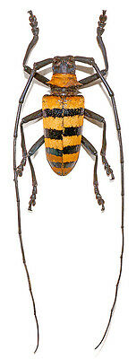 Taxidermy - real papered insects : Cerambycidae : Nemophas grayi male 20/27mm