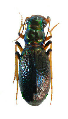 Taxidermy - real papered insects : Cicindelidae : Megacephala regalis angulicoll