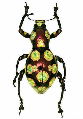 Taxidermy - real papered insects : Curculionidae : Pachyrrynchus gemmata set 2