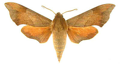 Taxidermy - real papered insects : Sphingidae : Darapsa myron