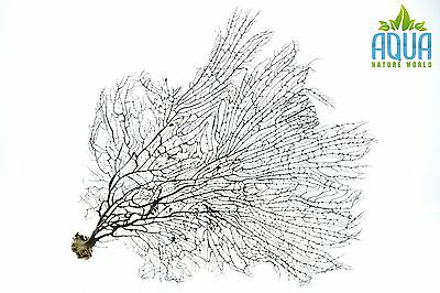 (A-4470) Real Atlantic Dried Coral (Ornament Fish Tank,red moor,bogwood) Size XL