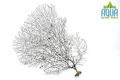 (A-4466) Real Atlantic Dried Coral  (Ornament Fish Tank,red moor,bogwood) Size L