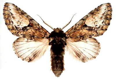 Taxidermy - real papered insects : Notodontidae : Heterocampa umbrata
