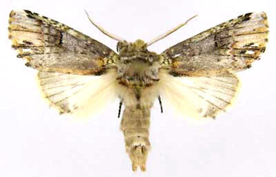 Taxidermy - real papered insects : Notodontidae : Schizura unicornis