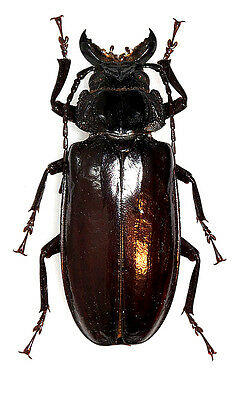 Taxidermy - real papered insects : Cerambycidae : Mallodon downesii