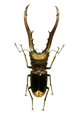 Taxidermy - real papered insects  : Lucanidae : Cyclommatus metalifer finae 85mm