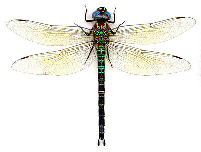 Taxidermy - real papered insects : Odonata : Epiaeschna heros  HUGE