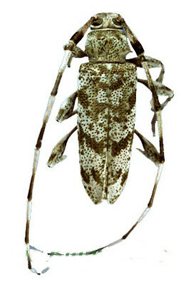 Taxidermy - real papered insects : Cerambycidae : Neacanthocinus obsoletus
