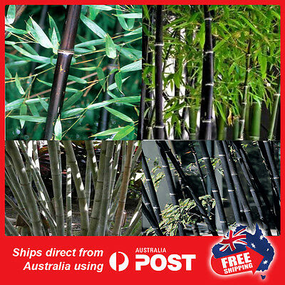 50 x Black Bamboo seeds planting backyard  fence tree