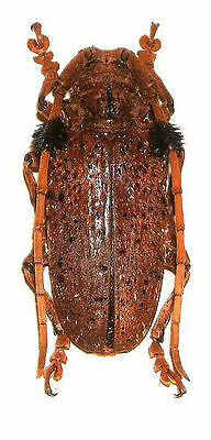 Taxidermy - real papered insects : Cerambycidae : Aristobia freneyiPAIR