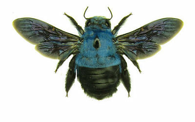 Taxidermy - real papered insects : Hymenoptera :  Xylocopa caerulea