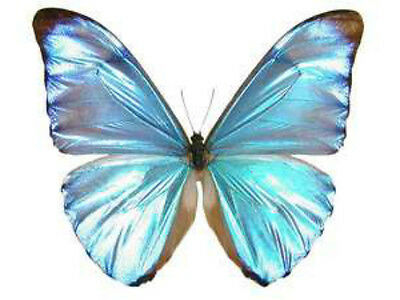 Taxidermy - real papered insects : Morphini : Morpho aurora aurelea