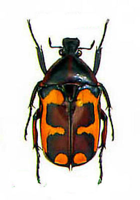 Taxidermy - real papered insects : Cetonidae : Plaesiorhinella mhondana