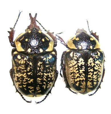 Taxidermy - real papered insects : Cetonidae : Hypselogenia corrosa PAIR