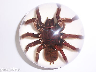Tarantula Spider - Insect Specimen (95 mm Dome Paperweight on White bottom)
