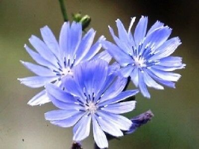 Organic Chicory 50 seeds electric blue flowers edible herb great in salads 2016
