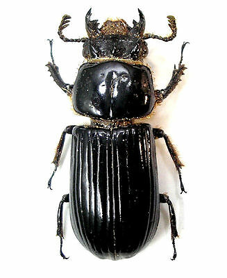 Taxidermy - real papered insects : Passalidae :  Aceraius grandis