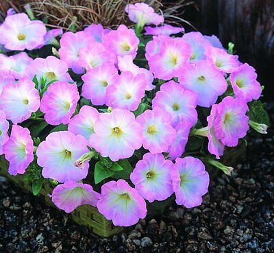 Petunia Seeds Trailing Variety Best Yet Salmon Chiffon 25 Pelleted Seeds