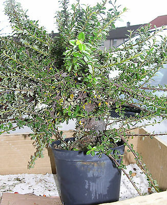 Quality Bonsai starter material Cotoneaster 8yr.