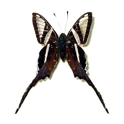 Taxidermy - real papered insects : Papilionidae : Lamproptera curius curius