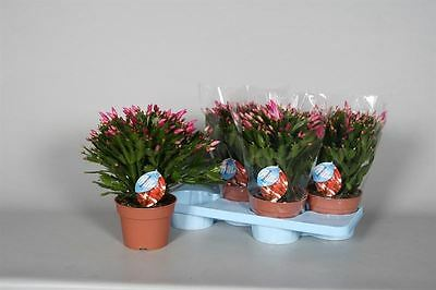 Large Christmas Cactus Plant in a 17cm pot. Schlumbergera
