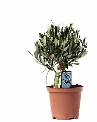 Olive Tree in a 13cm Pot.