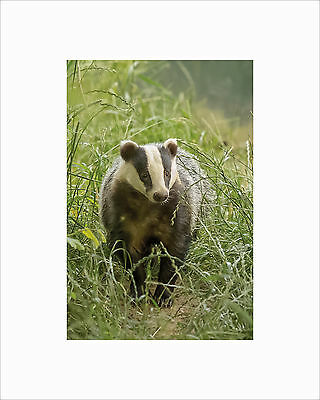 ORIGINAL 10 X 8 MOUNTED AND SIGNED BADGER PHOTOGRAPH  Animals-Wildlife,